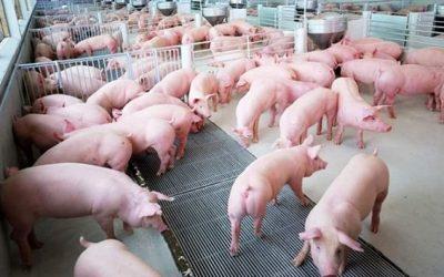Chương trình tập huấn về kỹ thuật chăn nuôi heo an toàn sinh học